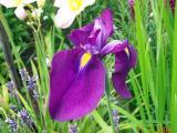 k-Iris.jpg