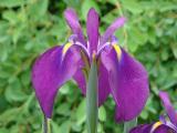 k-Iris 2.jpg