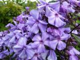 Phlox Blue Paradise.JPG