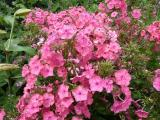 Phlox Junior Dream.JPG