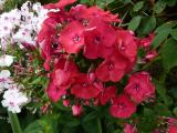 Phlox Red Flame.JPG