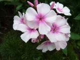 Phlox Bright Eyes.JPG