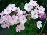 k-Rosa Pastell.jpg