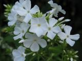 Phlox kleine weiße Blüte.JPG