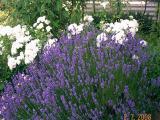 k-Lavendel.jpg