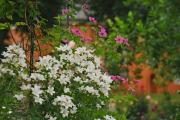campanula lactiflora alba.jpg