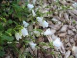 Campanula cochleariifolia alba.jpg
