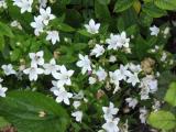 Campanula lactiflora White Pouffe.jpg