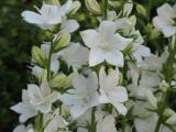 Campanula persicifolia ssp. sessiliflora alba (2).JPG