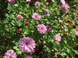 rosa, kleinblütig_.jpg