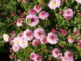 Chrysanthemum Anastasia.JPG