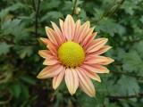 Chrysanthemum Nordlicht.JPG