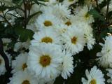 Chrysanthemum Poesie (4).JPG