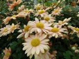 Chrysanthemum Nordlicht (2).JPG