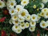 Chrysanthemum Poesie.JPG