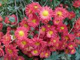 Chrysanthemum Rumpelstilzchen.JPG