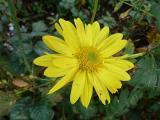 Chrysanthemum Schaffhausen.JPG
