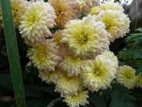 Chrysanthemum Scherzo.JPG