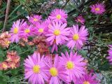 Chrysanthemum arctikum x koreanum Herbstkuss.JPG
