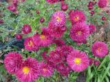 Chrysanthemum Brennpunkt (2).JPG