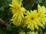 Chrysanthemum Gelber Kaktus.JPG