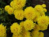 Chrysanthemum Goldmarie.JPG
