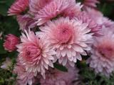 Chrysanthemum Nebelrose.JPG