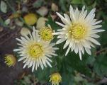 chrysantheme creme.jpg