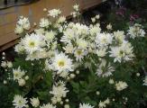 chrysantheme weiß.jpg