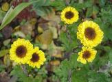 chrysantheme gelb.jpg