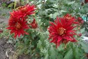 chrysantheme rot.jpg