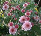 chrysantheme 3.jpg