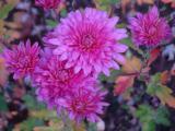 k-chrysantheme.jpg