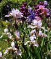 Iris sibirica Mrs. Row 4.6.10.jpg
