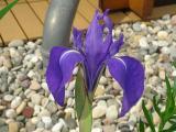 k-Iris Louisiana 1 2010.jpg