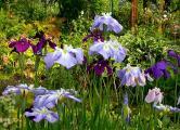 Iris ensata 24.6.10.jpg