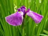 Iris ensata Sämling 1.7.10.jpg