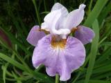 Iris sibtosa Sibtosa Queen.JPG