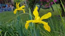 k-Iris crocea 20200611_184235.jpg