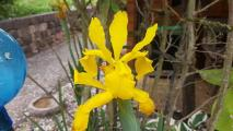 k-Iris crocea 20200614_102227.jpg
