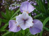 k-Iris sibtosa.jpg