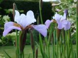 k-Iris sibtosa 2.jpg