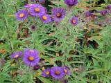 k-aster violette.jpg