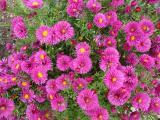 k-Aster rosa pastellbet.jpg