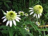 Echinacea 'Coconut Lime''_67911.jpg