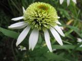 Echinacea 'Coconut Lime'_67921.jpg