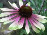 Echinacea purpurea 'Green Envy'_25591.jpg