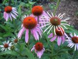 Echinacea Sämlinge.jpg