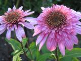 Echinacea Razz Mazz.jpg