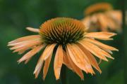 Echinacea Harvst King_5753 (Kopie).jpg